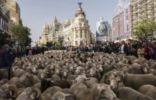 1036471021 226x145 - هجرة الخرفان عبر وسط العاصمة الإسبانية