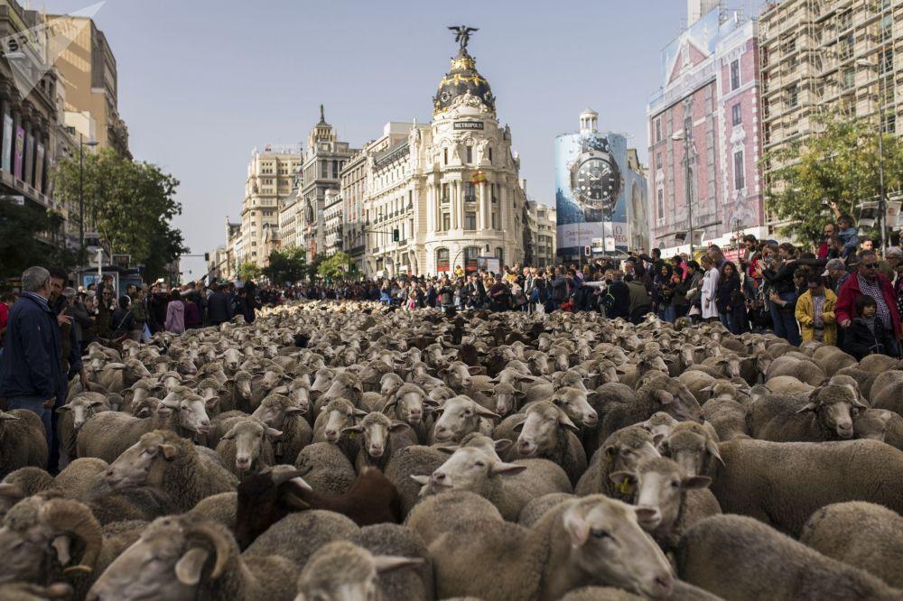 1036471021 - هجرة الخرفان عبر وسط العاصمة الإسبانية