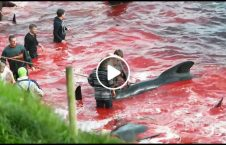the faroe islands annual whale slaughter 226x145 - The Faroe Islands' annual whale slaughter