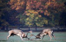 3500 2 226x145 - Clash of Deer