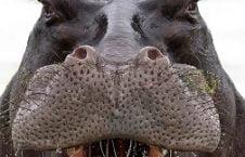 A Giant Hippo