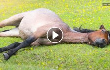 horses use the buddy system while sleeping 226x145 - Horses Use the 'buddy system' While Sleeping