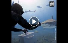 encounter between diver tiger shark 226x145 - Encounter between a diver and tiger shark