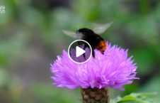 the fascinating bumblebees smart humans 226x145 - The fascinating way bumblebees are as smart as humans