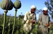 شماری از کشاورزان کوکنار در هلمند به حبس محکوم شدند 226x145 - نظام الدین نظام ازافزایش کشت کوکنار در ولایت بغلان خبر داد