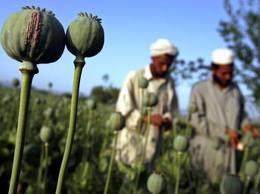 شماری از کشاورزان کوکنار در هلمند به حبس محکوم شدند - نظام الدین نظام ازافزایش کشت کوکنار در ولایت بغلان خبر داد
