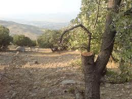قطع جنگلات - ادامه قطع جنگلات در شماری از ولسوالی های ننگرهار