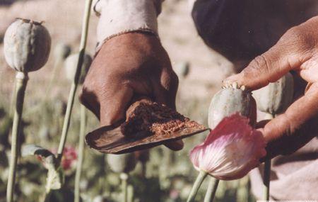 مواد مخدر؛ منبع اصلی درآمد طالبان درغرب کشور - كاهش 90 درصدی كشت مواد مخدر درهرات