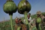 مواد مخدر11 150x100 - امريكا حامي اصلي توسعه مواد مخدر در افغانستان