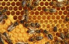 عسل 226x145 - حاصلات عسل در کشور افزایش یافته است