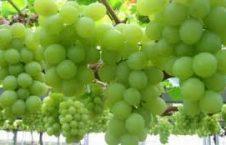 انگور 226x145 - افزایش 7 برابری حاصلات انگور در ولسوالی قره باغ
