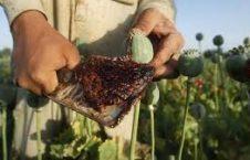 تریاک 226x145 - افزایش 40 برابری تولید تریاک درافغانستان