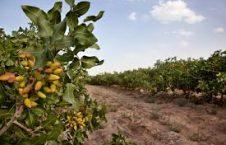 پسته 226x145 - توزیع ۱۲۷ تانکر آبیاری برای باغداران ولایت هرات و بادغیس