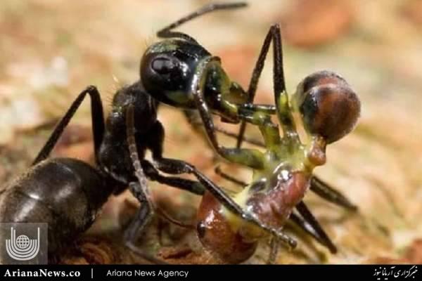 مورچه ی انتحاری 2