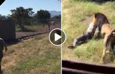حمله شیر صاحب افریقا