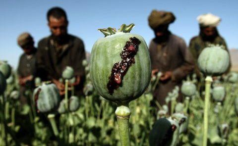 کوکنار 480x295 - گزارش سازمان ملل متحد در پیوند به افزایش کشت کوکنار در افغانستان