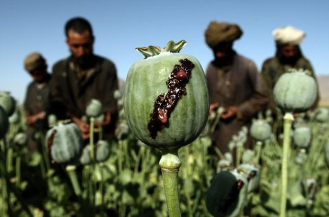 کوکنار - نگرانی های مسوولین از افزایش باران و کشت کوکنار