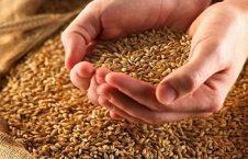 گندم 226x145 - افزایش نگرانی ها از صادرات غیرقانونی گندم به پاکستان