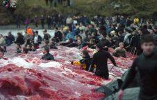 شکار نهنگ 226x145 - شکار نهنگ ها در دنمارک + تصاویر(+18)