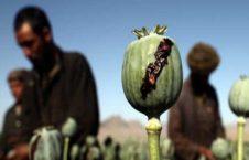 مواد مخدر 1 226x145 - افزایش تولید تریاک در افغانستان