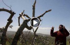 اسراییل درخت زیتون زارع فلسطین 226x145 - ویدیو/ حمله عساکر اسراییلی به درختان زیتون زارعان فلسطینی