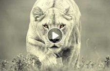 ویدیو شجاعت فلمبردار شیر درنده 226x145 - ویدیو/ شجاعت تحسین برانگیز فلمبردار در برابر شیر درنده