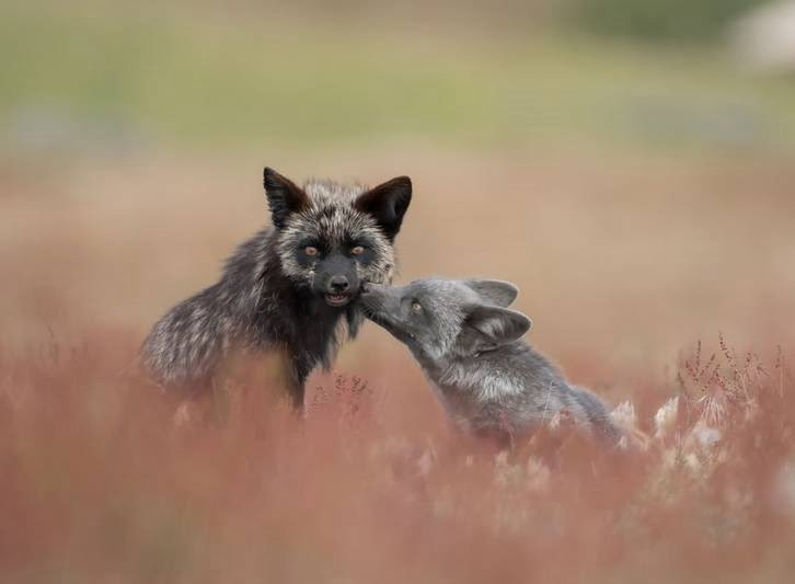 بوسه روباه - تصویر/ بوسه روباه!