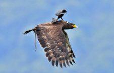 226x145 - تصویر/ عقاب سواری!