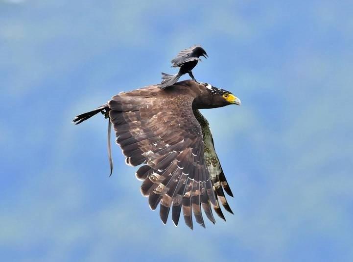 عقاب - تصویر/ عقاب سواری!