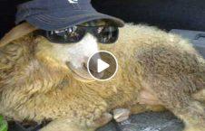 ویدیو کُشتی گوسفند 226x145 - ویدیو/ کشتی با گوسفند!