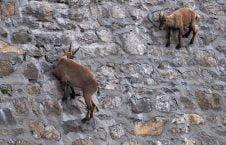 بزکوهی2 226x145 - تصاویر/ این موجودات از دیوار صاف بالا می روند!