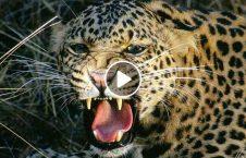 ویدیو روش جالب نجات پلنگ چاه 226x145 - ویدیو/ روشی جالب برای نجات پلنگ گرفتار شده در چاه