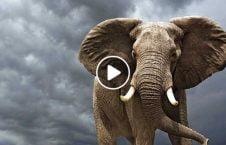 ویدیو مرگ دردناک فیل برق گرفتگی 226x145 - ویدیو/ مرگ دردناک هفت فیل به دلیل برق گرفتگی