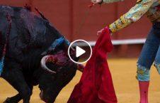 ویدیو نمایش وحشتناک حمله گاو غول پیکر 226x145 - ویدیو/ نمایشی وحشتناک از حمله گاو غول پیکر!