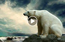ویدیو کشته خرس قطبی پولیس روسی 226x145 - ویدیو/ کشته شدن یک خرس قطبی توسط پولیس روسی