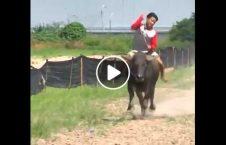 ویدیو گاومیش سواری تایلند 226x145 - ویدیو/ مسابقه گاومیش سواری در تایلند!