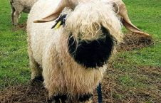 1 226x145 - تصاویر/ گوسفندی که شبیه سگ است!