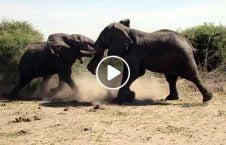ویدیو تصاویری از جنگ دو فیل عظیم الجثه 226x145 - ویدیو/ تصاویری از جنگ دو فیل عظیم الجثه