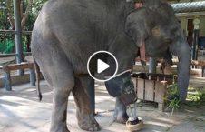ویدیو فیل شفاخانه 226x145 - ویدیو/ فیل ها هم صاحب شفاخانه شدند!