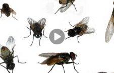 ویدیو چگونه شر مگس راحت 226x145 - ویدیو/ چگونه از شر مگس ها راحت شویم؟