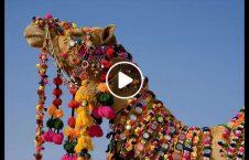 ویدیو جشنواره ملکه زیبایی شتر چین 226x145 - ویدیو/ جشنواره انتخاب ملکه زیبایی شترها در چین