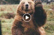 ویدیو دزدی خرس اداره پولیس 226x145 - ویدیو/ دزدی عجیب خرس از اداره پولیس!