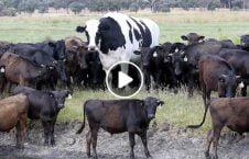 ویدیو غول پیکر ترین گاو دنیا 226x145 - ویدیو/ غول پیکر ترین گاو دنیا