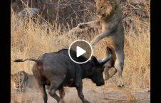ویدیو نبرد دیدنی شیر گاو وحشی 226x145 - ویدیو/ نبرد دیدنی شیر با گاو وحشی