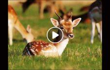 ویدیو خوش آهو گردشگر جاپان 226x145 - ویدیو/ خوش آمدگویی آهوها به گردشگران در جاپان