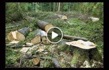 ویدیو قطع غیر قانونی جنگل کنر 226x145 - ویدیو/ قطع غیر قانونی جنگلها در ولایت کنر