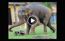 ویدیو مرگ مرد جوان فیل خشمگین 226x145 - ویدیو/ مرگ دردناک مرد جوان توسط فیل خشمگین