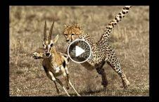 ویدیو پرواز پلنگ برای شکار آهو 226x145 - ویدیو/ پرواز پلنگ برای شکار آهو