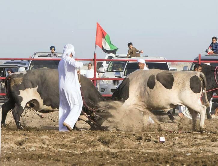 گاو بازی امارات 1 - تصاویر/ تفریح عجیب مردم امارات