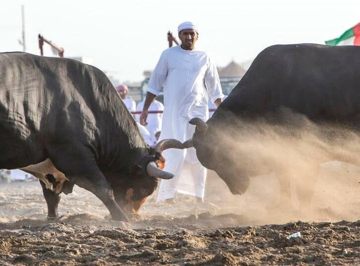 گاو بازی امارات 11 - تصاویر/ تفریح عجیب مردم امارات